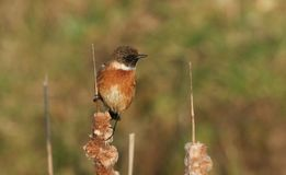 A stunning male Stonechat Saxicola torquata perched on top of a bulrush. A pretty male Stonechat Saxicola torquata perched on top of a bulrush Stock Photo