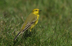 A stunning male Yellow Wagtail, Motacilla flava, sitting in the grass. Stock Photo