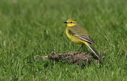 A stunning male Yellow Wagtail, Motacilla flava, sitting in the grass. Royalty Free Stock Images