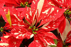 Stunning Marbled Poinsettia Flowers Royalty Free Stock Image