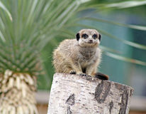 Stunning meerkat Royalty Free Stock Images