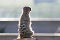 Stunning meerkat Stock Photos