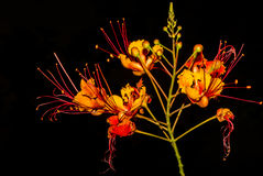 Stunning Mexican Bird of Paradise Flower Against Black Background Stock Photo