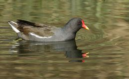 A stunning Moorhen Gallinula chloropus swimming in a lake on a sunny day. A pretty Moorhen Gallinula chloropus swimming in a lake on a sunny day Royalty Free Stock Photo
