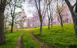 Trail leading to the Wild Himalayan cherry blossom forest in Tha Stock Image
