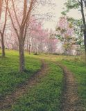 Trail leading to the Wild Himalayan cherry blossom forest in Tha Stock Photos