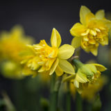 Stunning narcissus tete boucle buttercup daffodils in full bloom. Beautiful narcissus tete boucle buttercup daffodils in full bloom Stock Photography