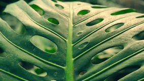 Big green leaves of exotic plant. Stunning nature of amazonian forests. close-up of a palm leaf stock footage
