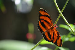 Stunning Orange and Black Oak Tiger Butterfly in Nature Royalty Free Stock Photos