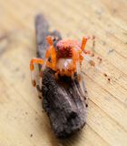 Stunning Orange and Black Spider Royalty Free Stock Images