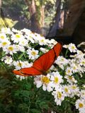 Stunning orange butterfly over daisy flowers. Great orange butterfly perched on small white and yellow flowers royalty free stock photo
