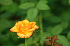 Stunning Orange Rose Flower Stock Photography