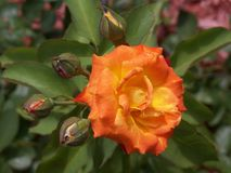 Stunning orange rose and buds about to open. This stunning orange rose is surrounded by buds getting ready to open and green leaves royalty free stock photo
