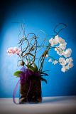 Stunning Orchid plant and arrangement. A beautiful flower arrangement of orchids both white and purple giftwrapped Royalty Free Stock Images