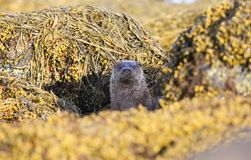 A curious Otter Lutra lutra looking out  between rocks covered in seaweed on the shoreline of the sea loch on the Isle of Mull,. A stunning Otter Lutra lutra Stock Images