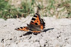 Single Painted Lady Butterfly royalty free stock images