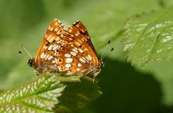 A stunning pair of mating Duke of Burgundy Butterfly Hamearis lucina perching on a leaf. A pair of mating Duke of Burgundy Butterfly Hamearis lucina perching on Stock Photos