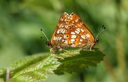 A stunning pair of mating Duke of Burgundy Butterfly Hamearis lucina perching on a leaf. A beautiful pair of mating Duke of Burgundy Butterfly Hamearis lucina Royalty Free Stock Images