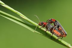 A stunning pair of mating Soldier Beetle Cantharis fusca perching on a blade of grass. A pretty pair of mating Soldier Beetle Cantharis fusca perching on a royalty free stock photos