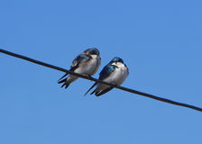 Stunning pair of tree swallows perched on wire Royalty Free Stock Photo