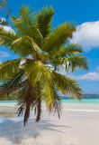 Stunning Palm Tree On A Tropical Beach Royalty Free Stock Image