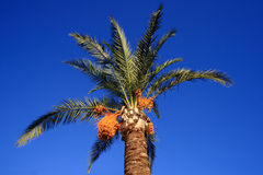 Stunning Palm tree with yellow fruit Stock Photography