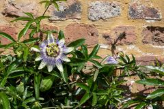 Stunning passion flower climbing plant growing up brick wall at Eastcote historic walled garden, Hillingdon, UK. royalty free stock photo