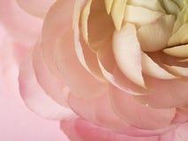 Close up floral ranunculus. Stunning pastel colors, intricate detail and amazing petals ranunculus Stock Photo