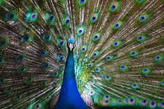 Stunning Peacock Royalty Free Stock Photos