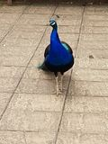 Stunning peacock stock photos