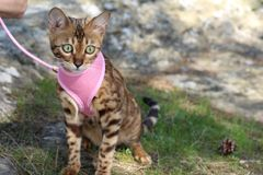 Stunning pedigreed Bengal cat outdoors.  Royalty Free Stock Photography