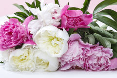 Stunning peonies Stock Photography