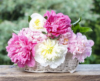 Stunning peonies in white wicker basket Stock Photos