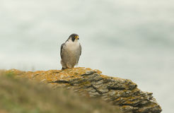 A stunning Peregrine Falco peregrinus perched on a cliff at the coast. It is looking for its next meal. Royalty Free Stock Images