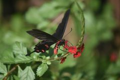Stunning photo of a swallowtail butterfly polinating. Cute photo of a wild butterfly polinating a flower royalty free stock photos