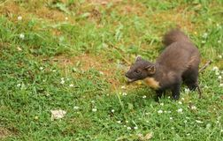 A stunning Pine Marten Martes martes in the highlands of Scotland standing on the grass surrounded by clover flowers with its mo Stock Image