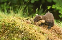 A stunning Pine Marten Martes martes sitting on a mossy mound in the Highlands of Scotland. Royalty Free Stock Photo