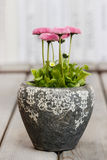 Stunning pink daisies in grey stone flowerpot Royalty Free Stock Photography