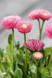 Stunning pink daisies Royalty Free Stock Images