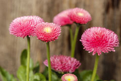 Stunning pink daisies on wooden background. Stock Photo
