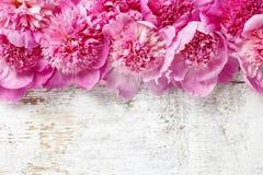 Stunning pink peonies Royalty Free Stock Photo