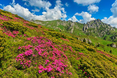 Stunning pink rhododendron flowers in the mountains,Ciucas,Carpathians,Romania Stock Photos
