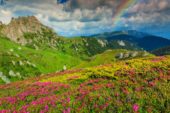 Stunning pink rhododendron flowers in the mountains,Ciucas,Carpathians,Romania. Beautiful pink rhododendron flowers and wonderful rainbow,Ciucas mountains Stock Photo