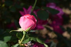 Stunning pink rose bud bloom Stock Photography