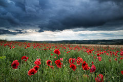 Stunning poppy field landscape in Summer sunset light Royalty Free Stock Photos