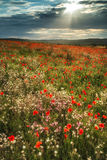 Stunning poppy field landscape in Summer sunset light royalty free stock photo