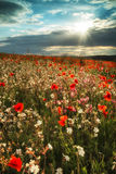 Stunning poppy field landscape in Summer sunset light Stock Photos