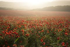 Stunning poppy field landscape at sunset on South Downs Royalty Free Stock Photo