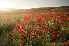 Stunning poppy field landscape under Summer sunset sky royalty free stock photos