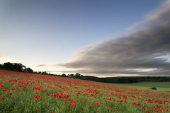 Stunning poppy field landscape under Summer sunset sky stock image